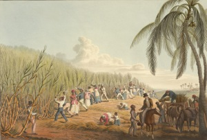 Slaves on Antigue harvesting Sugar Cane